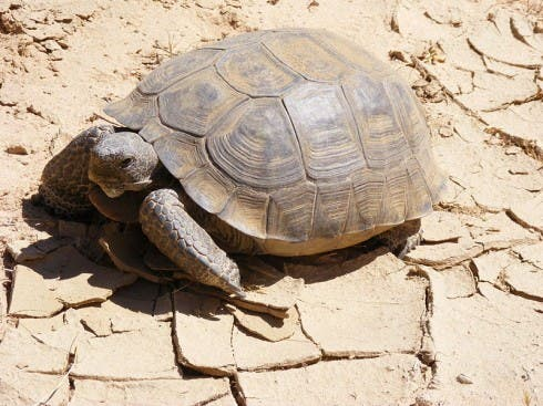 File name: deserttortoised.jpg