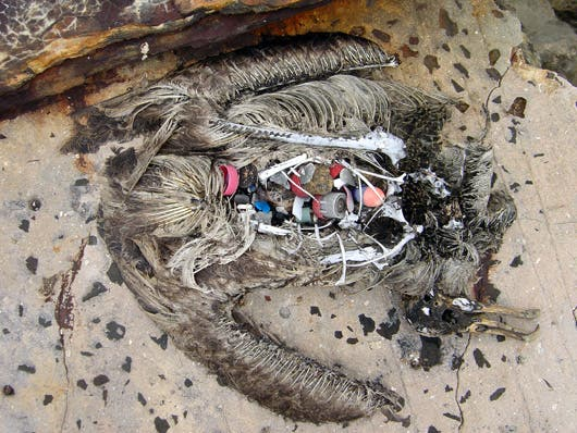dead albatross with plastic in stomach