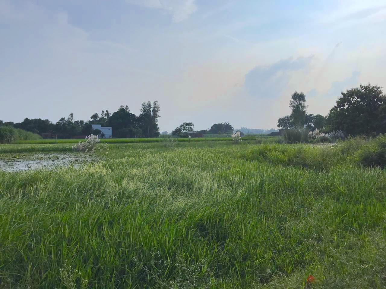 Paddy field in Ambedkar Nagar, UP