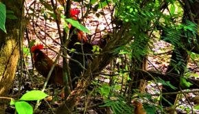 roosters in rain forest Costa Rica