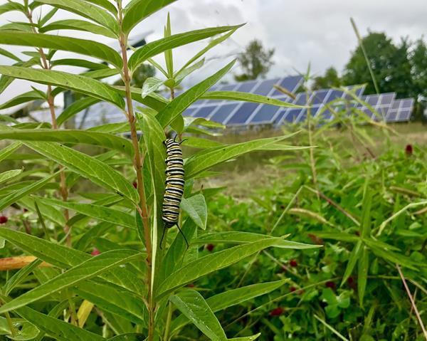 solar panels pollinators agrivoltaic