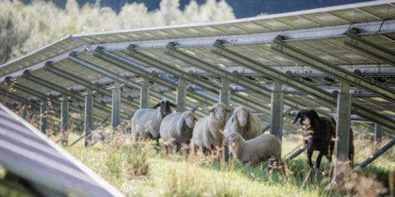 Sheep and Solar In Austria