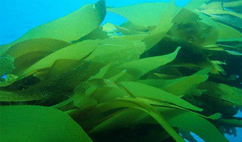 Kelp and climate change